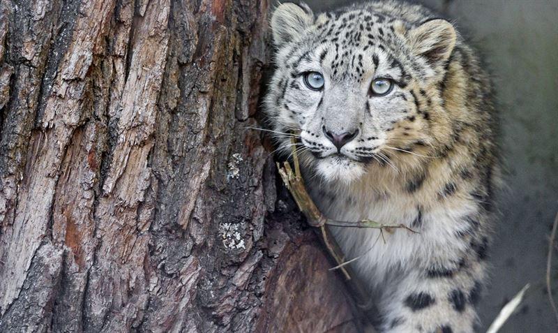 Смерть снежных барсов – в зоопарке Алматы разгорается скандал