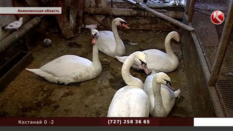 Петропавловск и Боровое обменяли лебедей на кур