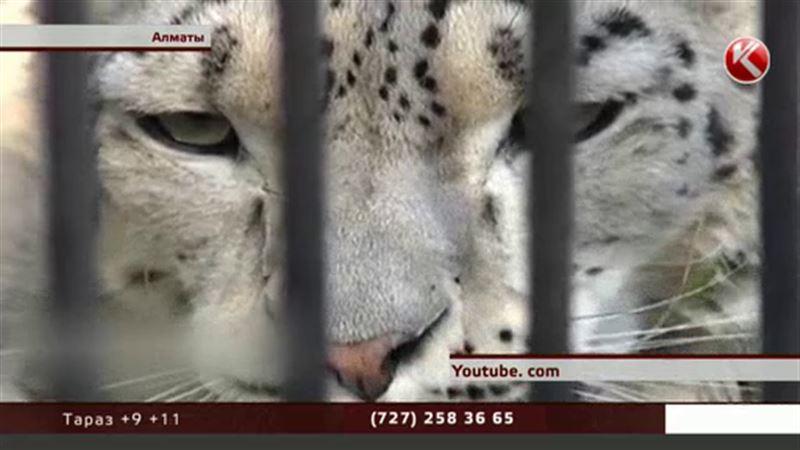 В Алматинском зоопарке скрывали гибель снежных барсов