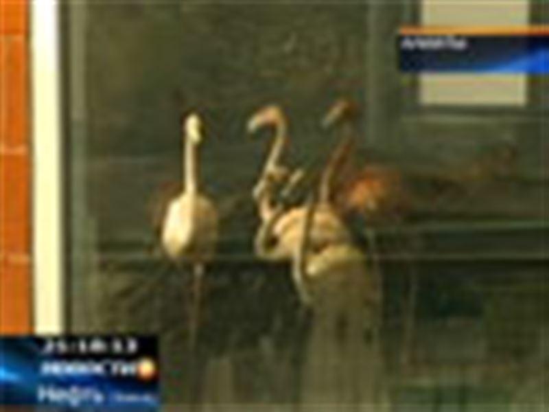 В алматинский зоопарк доставили двадцать красных фламинго