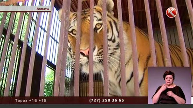 Теперь в Алматинском зоопарке пневмонию подхватила тигрица