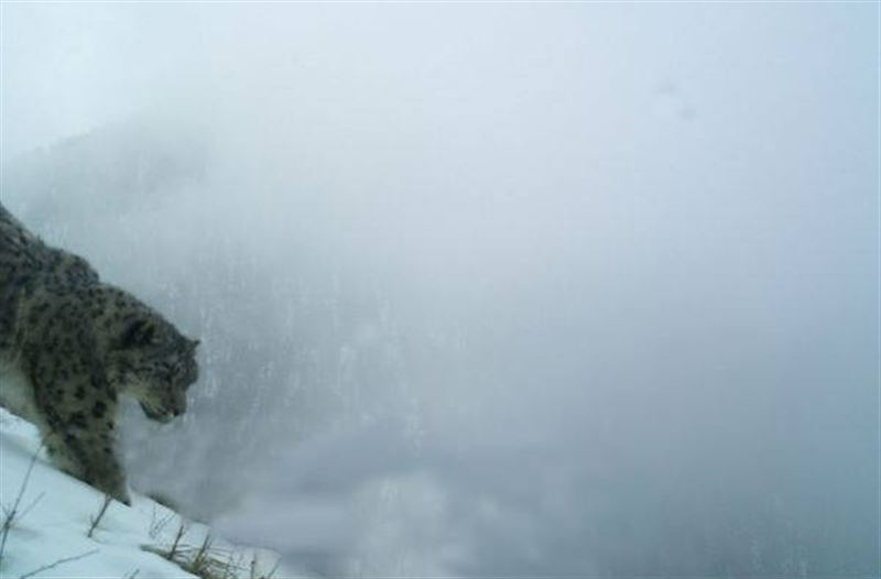 Фотоловушки «поймали» очередного снежного барса в РК