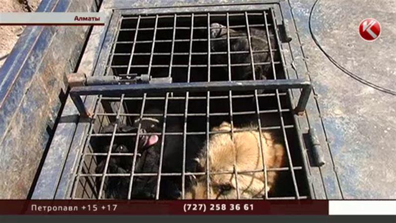Алматының ветеринарлары итке таланып өлмес үшін үйден шықпауға кеңес берді