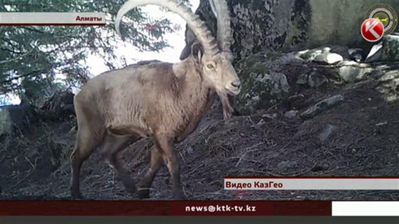 Ученым удалось снять редких животных в окрестностях Алматы