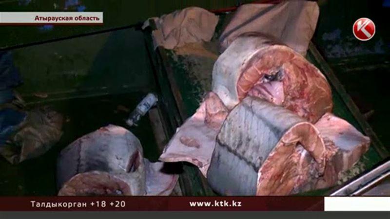 Белуге весом 142 килограмма не дал «пожить» браконьер