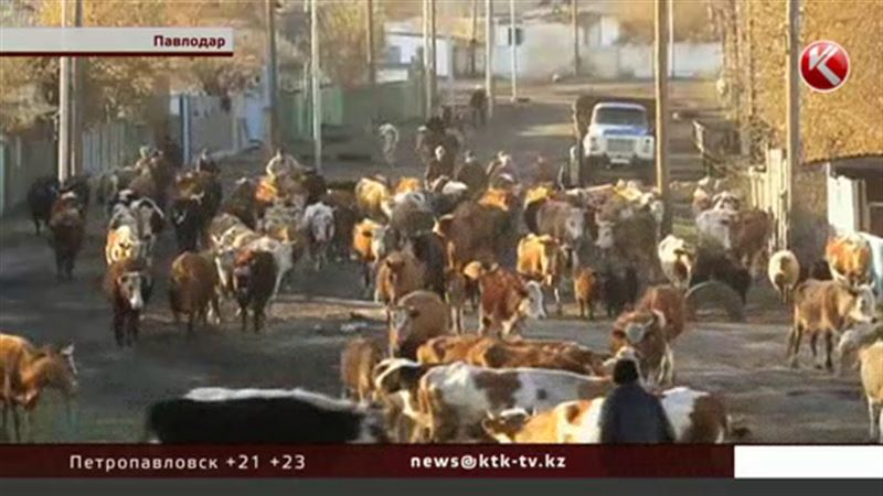 Павлодарские коровы отстаивают право на пешеходный переход