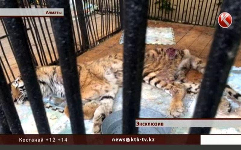 Тигрица Куралай обречена на смерть. Ей неоткуда ждать помощи