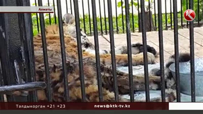 Полосатая королева алматинского зоопарка действительно на грани смерти