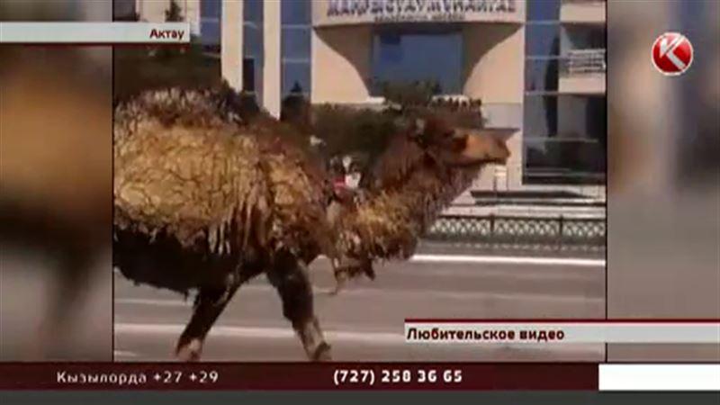 Верблюдица прошлась по  улицам Актау и в конце пути принесла приплод