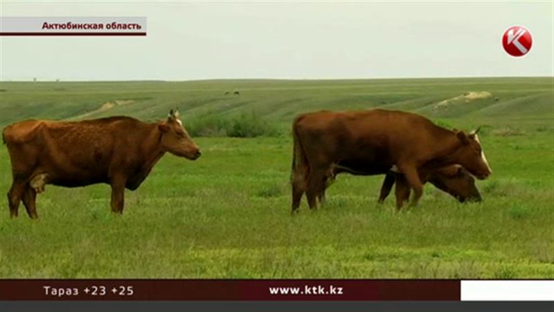 Актюбинские сельчане, как выяснилось, пустили под нож десятки коров в целях профилактики
