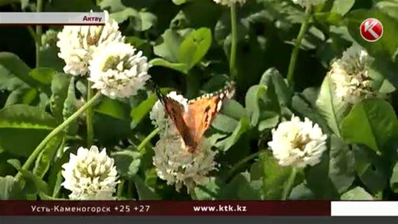В Актау невиданное нашествие бабочек