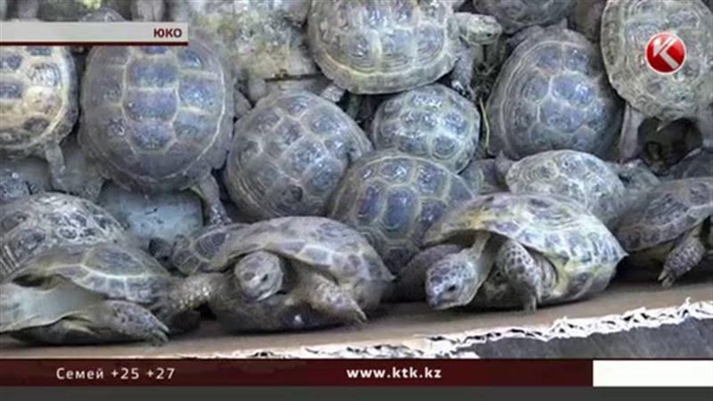 Семь тысяч черепах отпустили на свободу в южноказахстанской степи