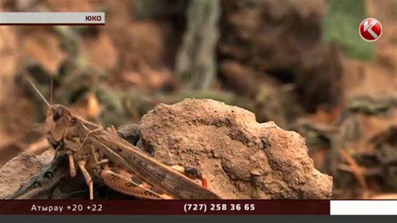Бахчевые в ЮКО уничтожают сразу 15 видов саранчи