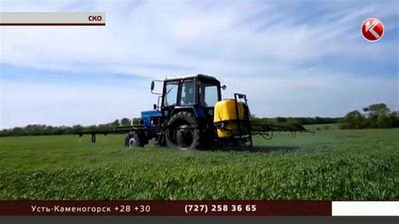Североказахстанские крестьяне боятся потерять урожай… из-за ржавчины