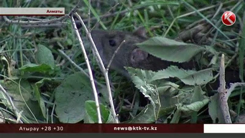 Крысы уже нападают на алматинцев и кусают их