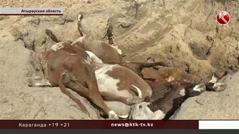 Причину массового падежа скота в Атырауской области установили
