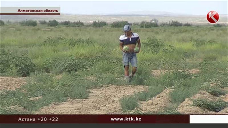 Из-за чиновников, говорят крестьяне, в Алматинской области гибнет урожай арбузов