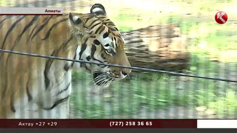 Тигр Урман из алматинского зоопарка может стать видеоблогером