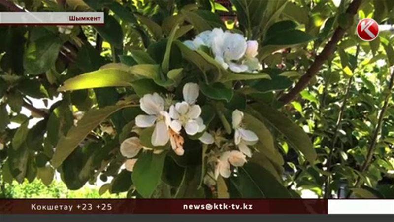 В Шымкенте вновь зацвела яблоня