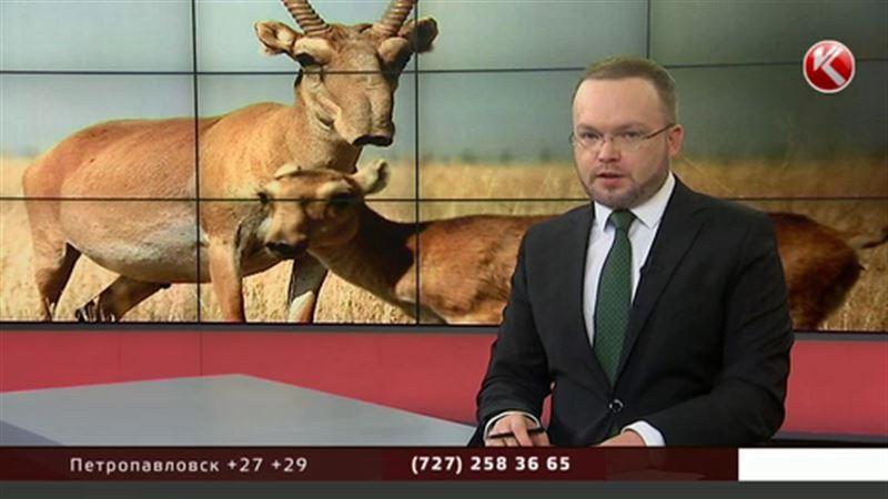 В Казахстане началась перепись сайгаков