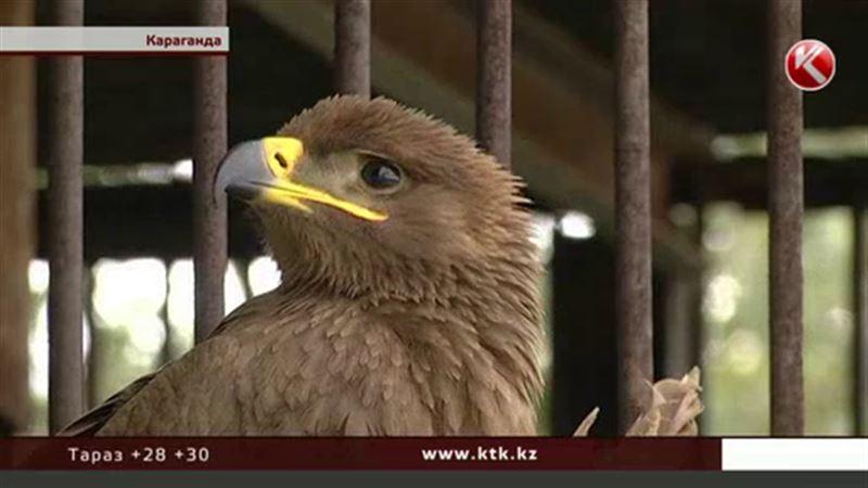 Карагандинскому орлу срочно требуется Айболит из России