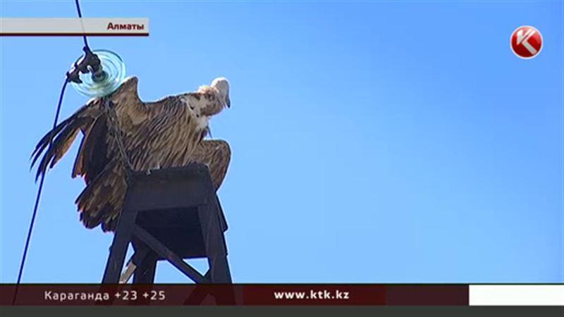 Под грифом: краснокнижную птицу несколько часов спасали в Алматы