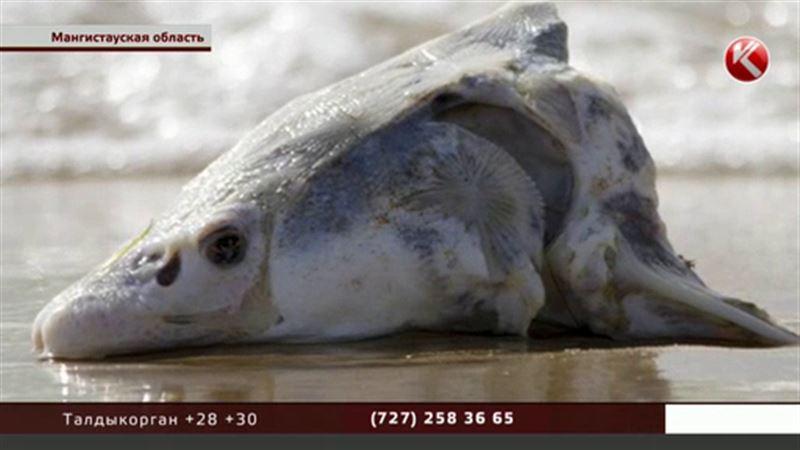 Своей версией гибели тюленей на Каспии поделились независимые экологи