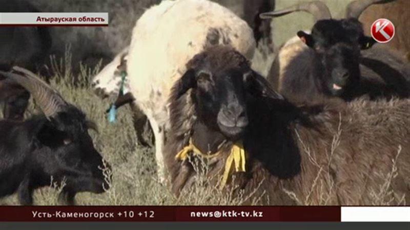 В Атырауской области сельчане сотнями сжигают домашний скот
