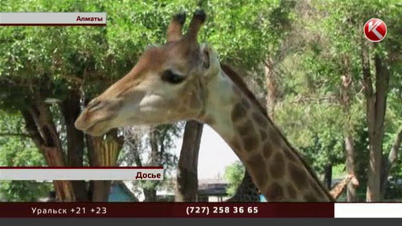 В алматинском зоопарке умер жираф Мелман, зоозащитники полны подозрений