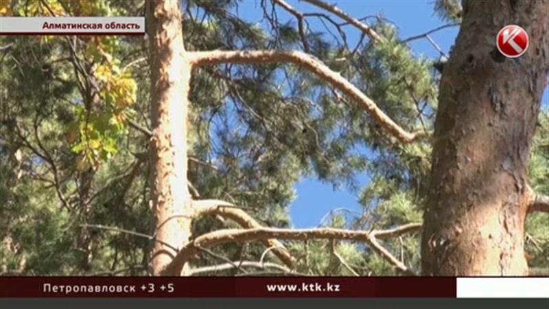 Сосновый усач угрожает алматинским елям
