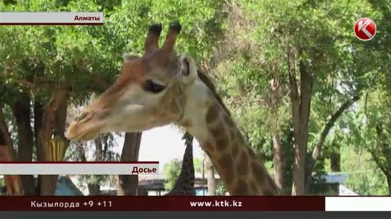 Жирафа в алматинском зоопарке, возможно, отравили сами сотрудники