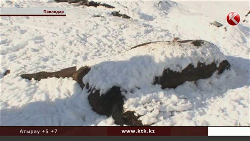 Жителей Павлодара тревожит стихийный скотомогильник