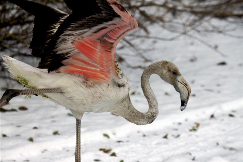 Рыбаки спасли от смерти раненого фламинго в ВКО