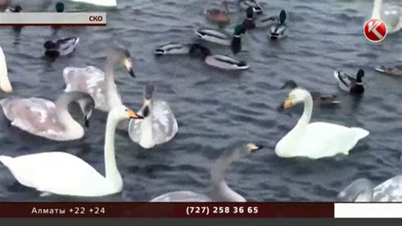 Десятки лебедей остались на замерзающих озерах под Петропавловском