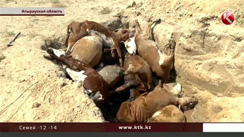 Хозяевам павшего в Атырауской области скота начали выплачивать компенсацию