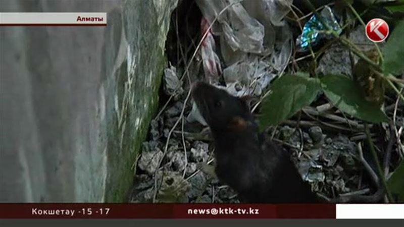 Специалисты объяснили особую упитанность алматинских крыс