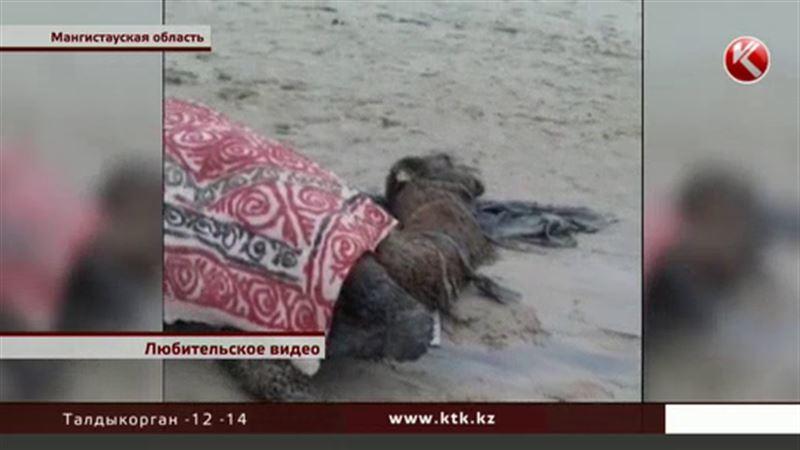 В Мангистау всем миром спасали беременную верблюдицу