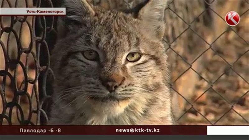 Рысь пришла в детский сад Усть-Каменогорска