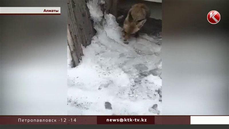 Алматинцы спасали лису прямо в центре города
