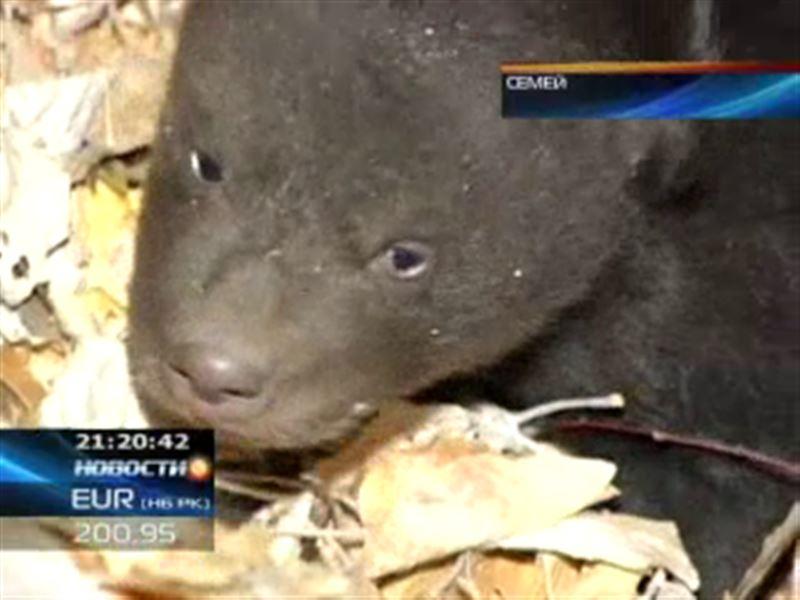 В семейском биоцентре появился на свет медвежонок