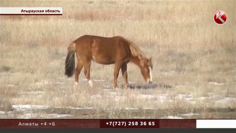 В Атырауской области у сельчан воруют лошадей, взятых в кредит