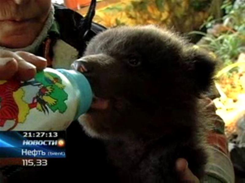 Медвежий беби-бум! Вслед за семейским медвежонком бурые двойняшки появились на свет в Караганде