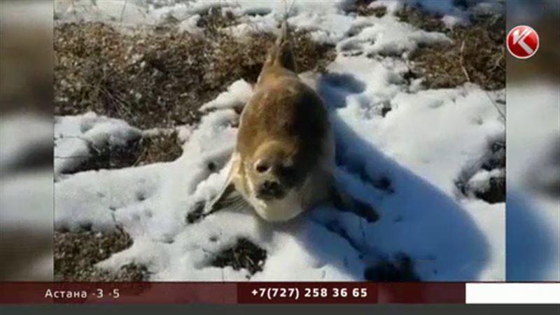 Во всём виноваты пупки: в Мангистау выяснили, почему по степи ползают тюлени