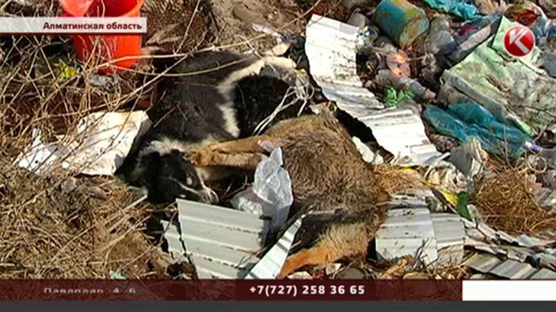 «Стреляли на глазах у детей»: жители Алматинской области стали свидетелями уничтожения бродячих собак