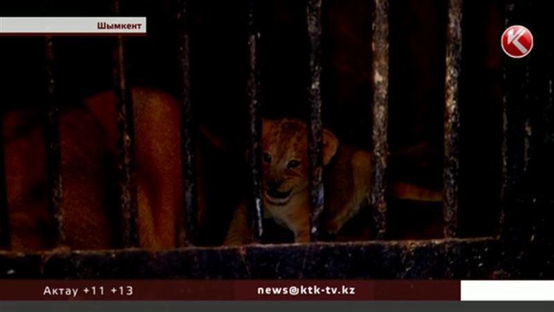В Шымкенте впервые вышли в свет новорожденные львята