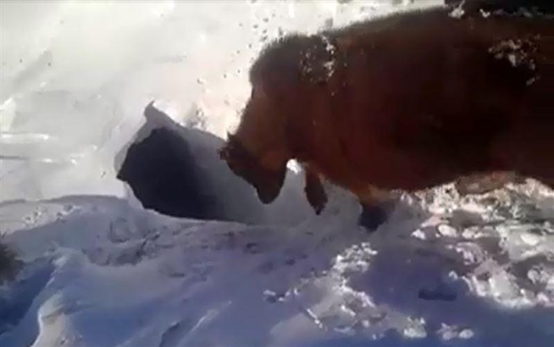 Видео с исчезающими под снегом коровами попало в сеть