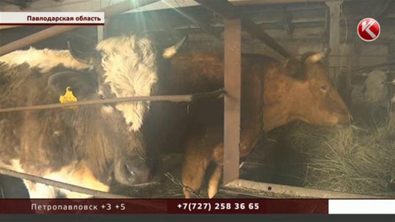 Павлодарские крестьяне не хотят видеть коров в своем селе