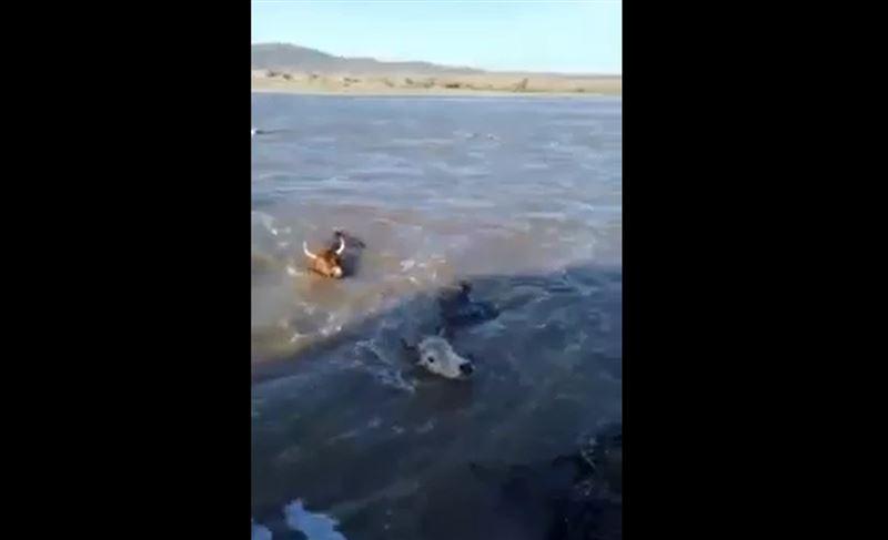 Плывущих во время паводка коров засняли в Карагандинской области