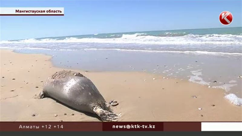 Ученым не хватило трупов, чтобы назвать причину массовой гибели тюленей