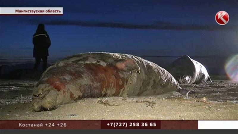 Жители Мангистауской области перепуганы массовой гибелью тюленей